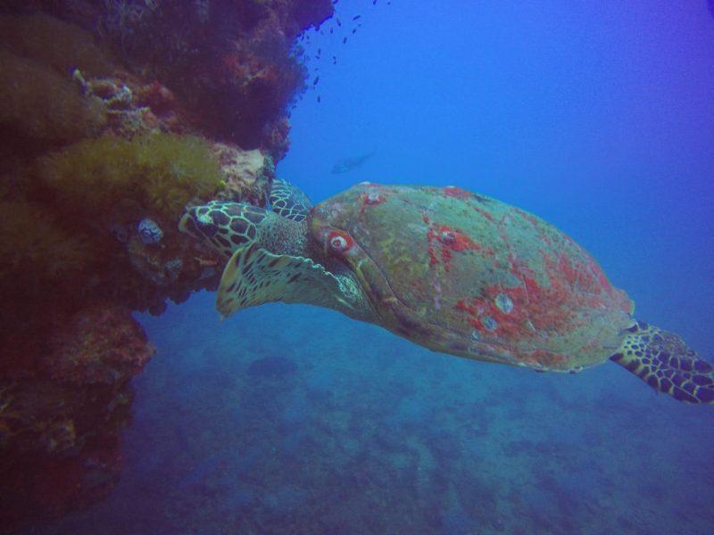 Yongala Turtle