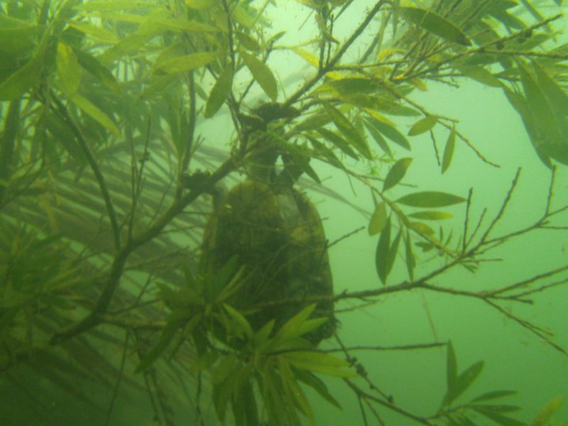 Only in the rainforest will you see a turtle in a tree underwater