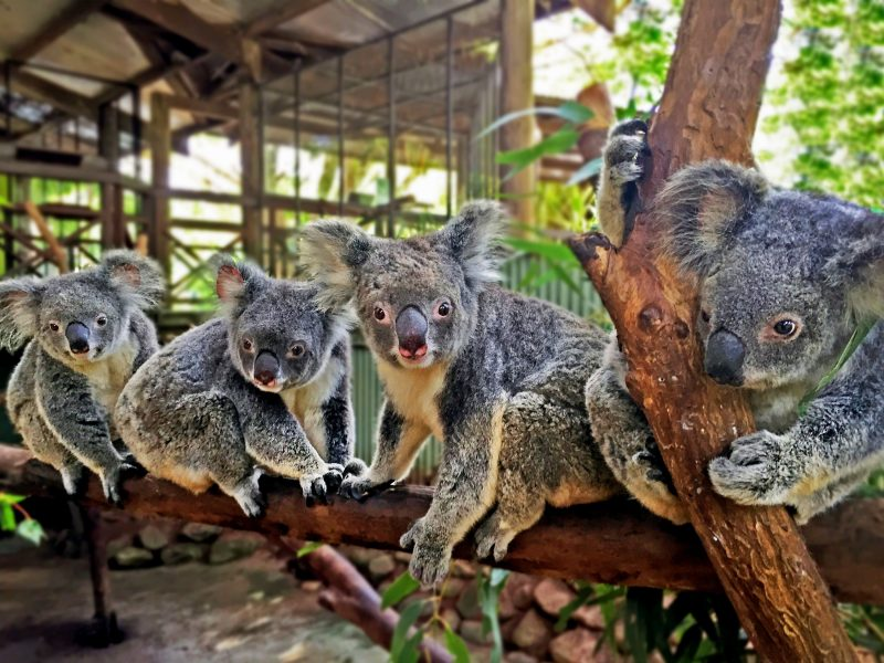 koalas at rainforestation nature park kuranda koala and wildlife park