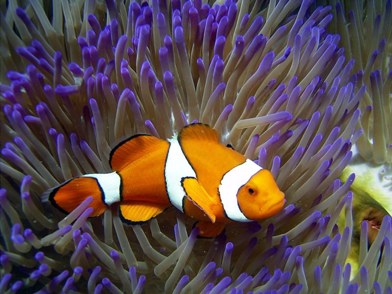Clownfish in an Anenome at Reef HQ Aquarium