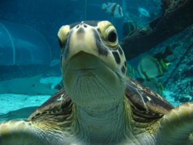 Green Turtle in final stages of rehabilitation at Reef HQ Aquarium