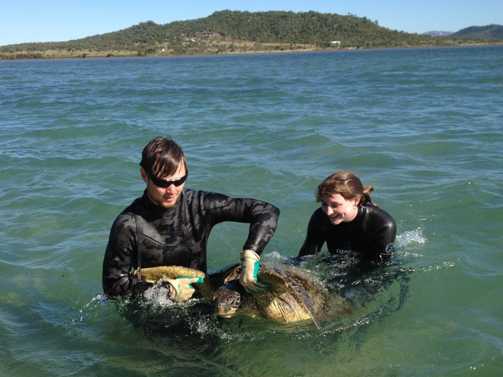 Capture of an adult Green turtle