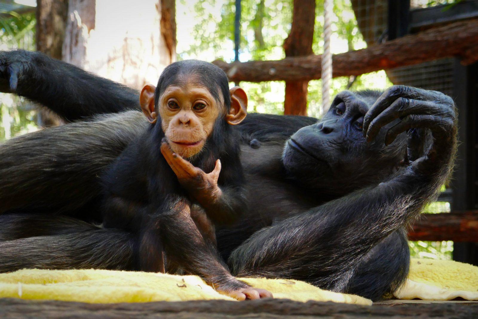 Baby chimpanzee, Capri, Rockhampton Zoo