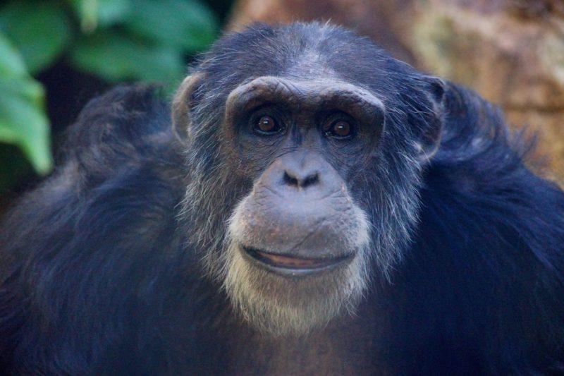 Chimpanzee at the Rockhampton Zoo