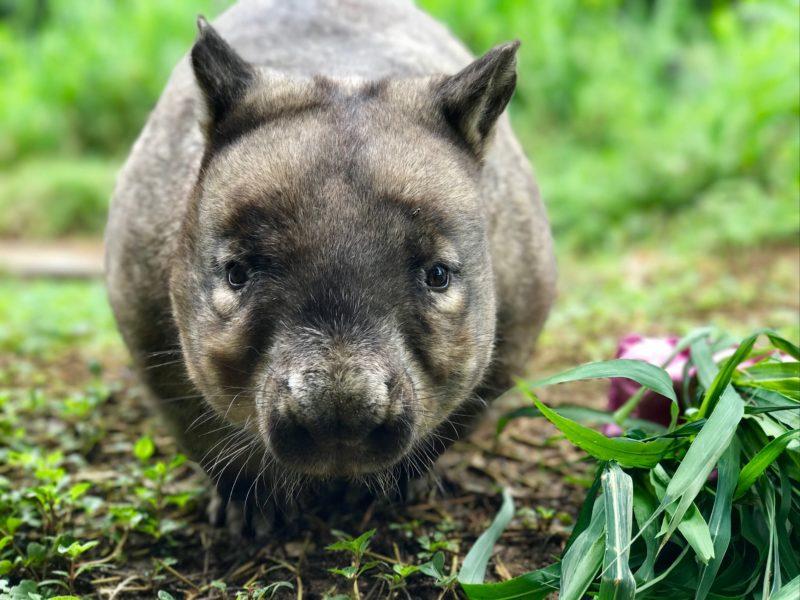 Bruce the wombat at Rockhampton Zoo