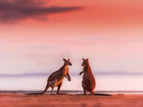 Red sunrise kangaroos boxing