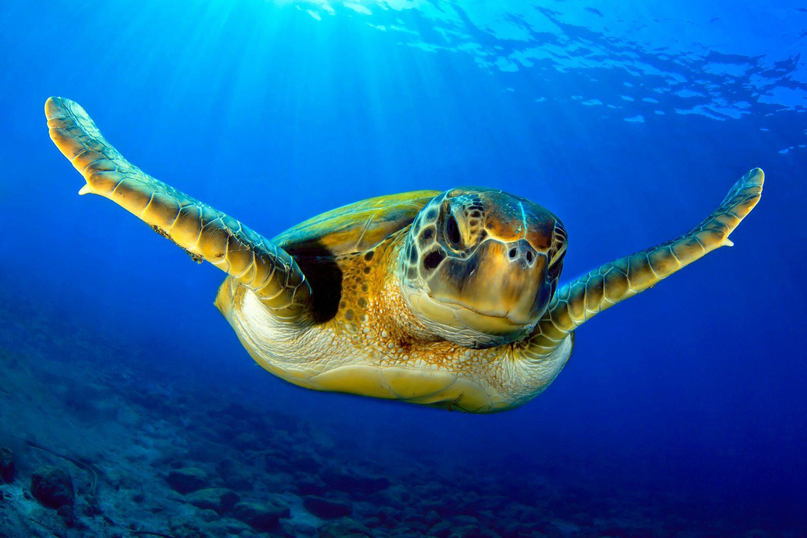 Friendly turtle swimming to the camera. Crystal clear blue water with the sun filtering through