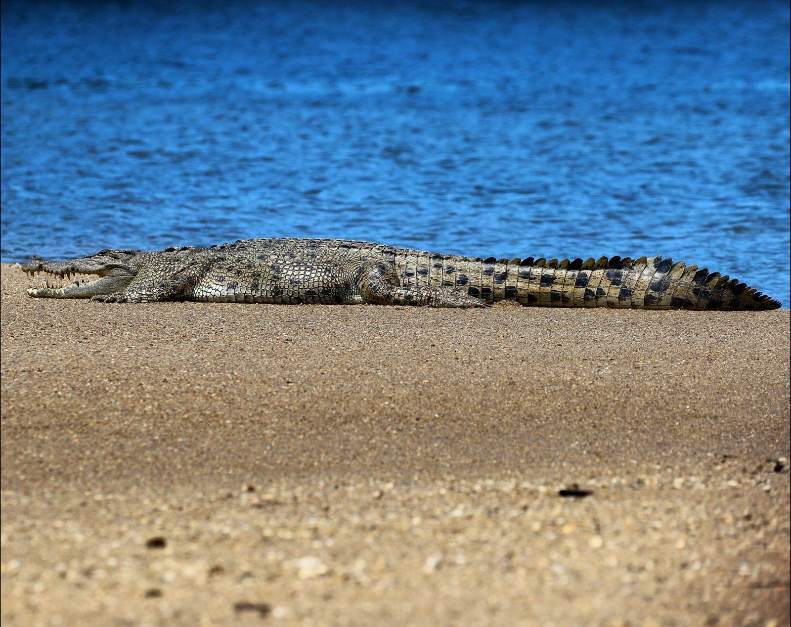 Croc on a beach