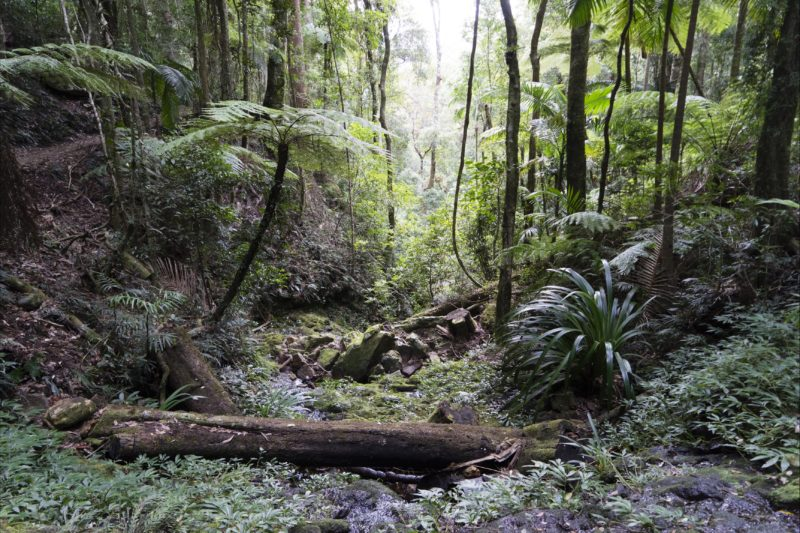 Lush rainforest of Springbrook National park