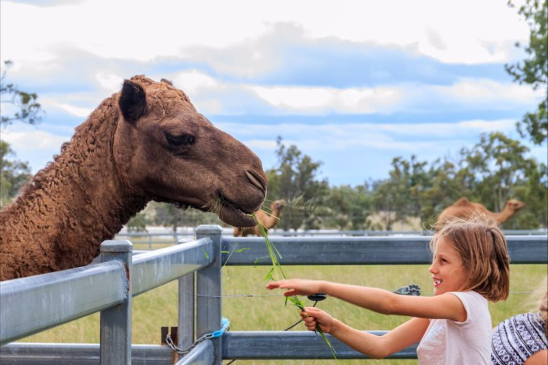 Get hands-on with the gentle camels at Summer Land Camel Farm