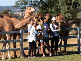 Friendly Camels