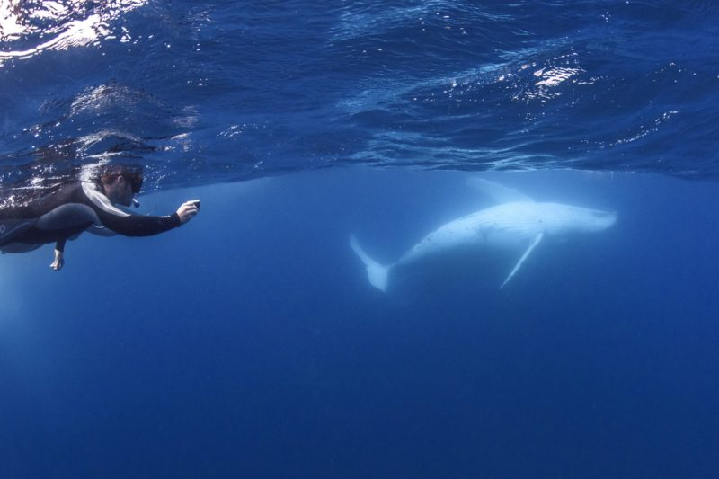 Photographer swimming with a humpback whale