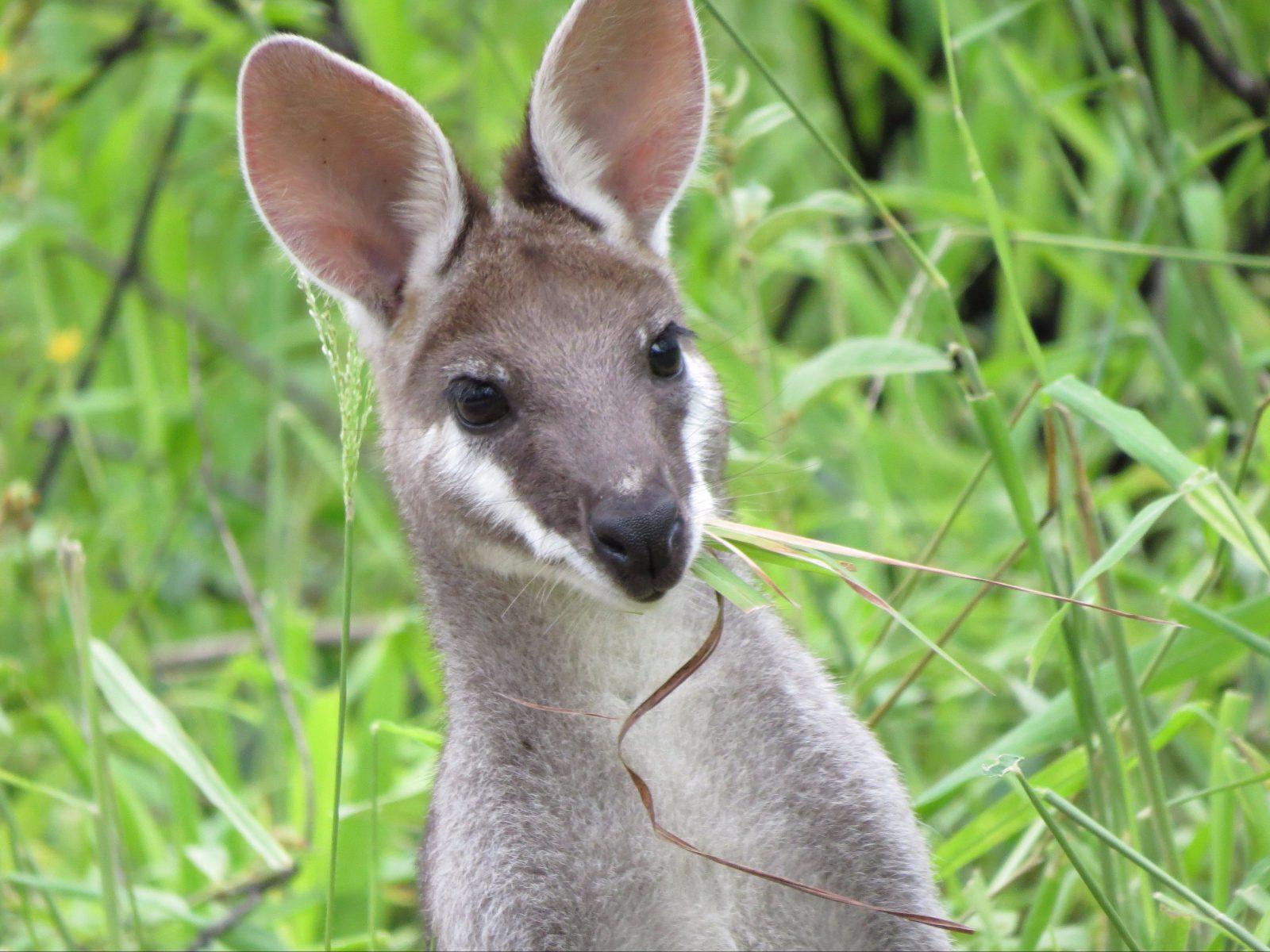wildlife, wallaby, kangaroo