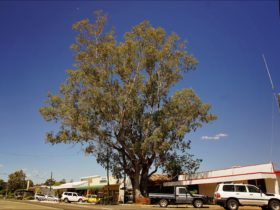 Leichhardt Tree and Main Street