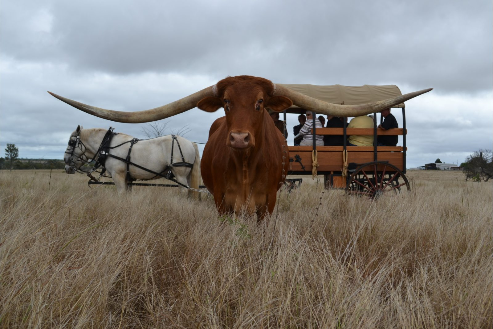 Guiness World Record Steer JR and Wagon