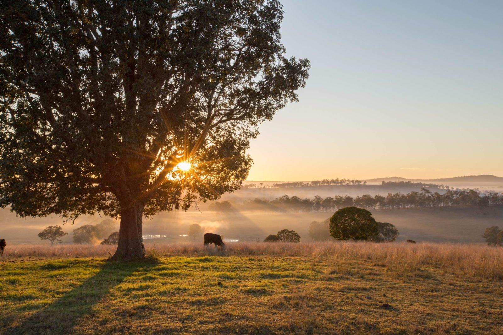 Cattle grazing early sunrise