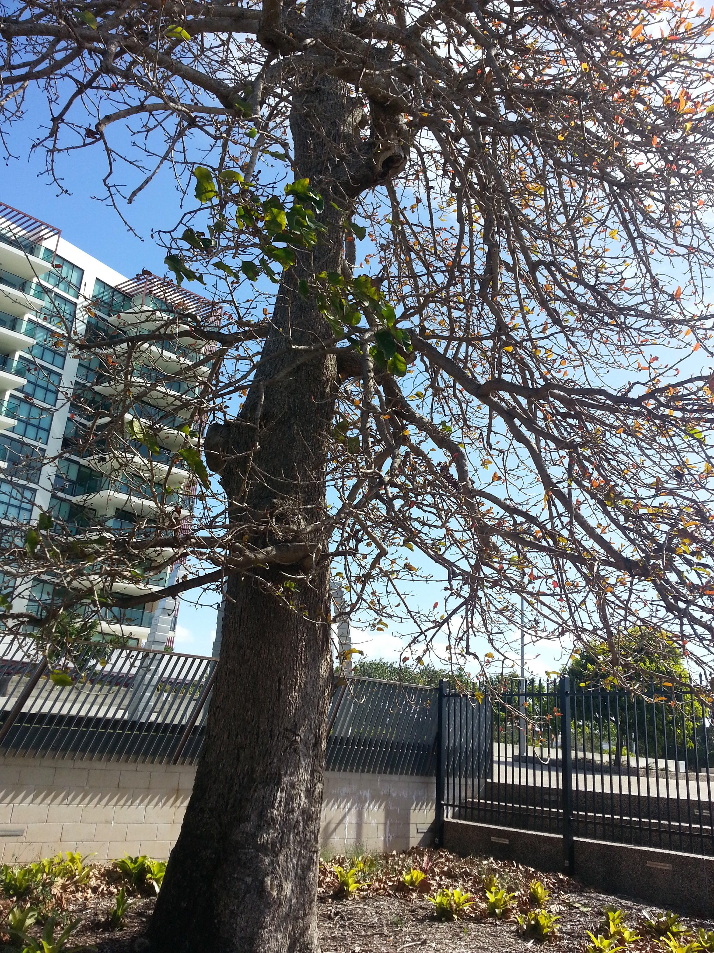 The Leichhardt Tree