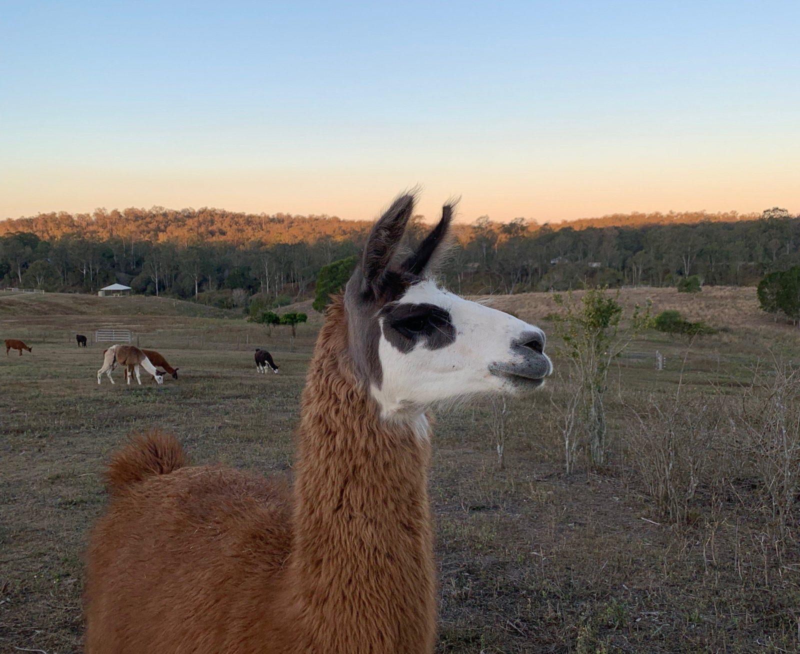 The Llama Farm