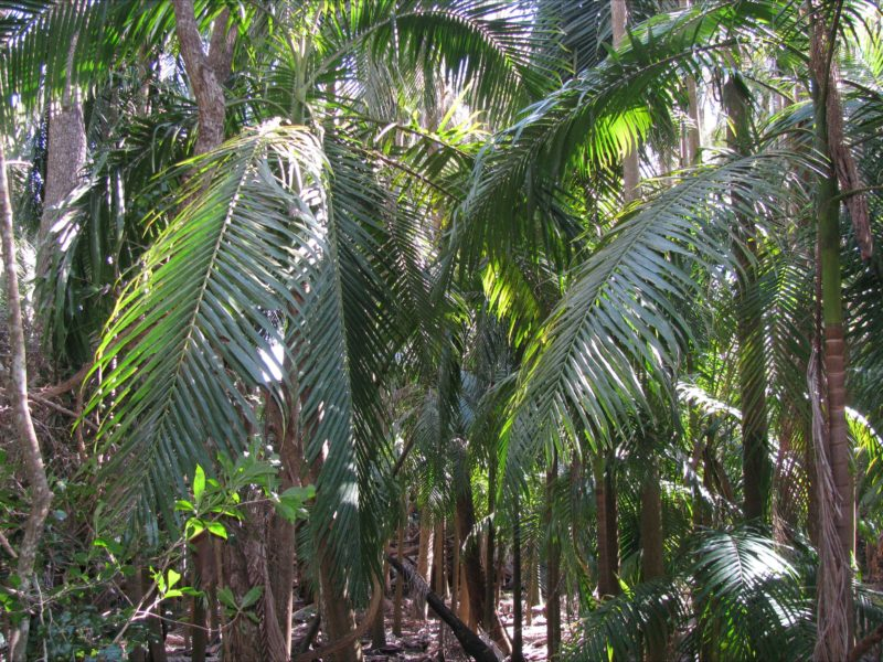 Picabeen palm forest.