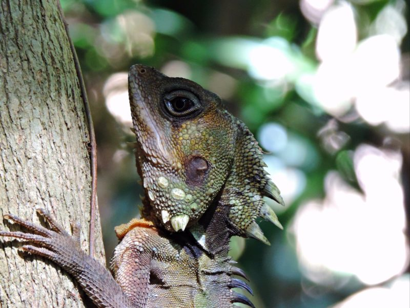 Boyds Forest Dragon Mossman Gorge with Tony's Tropical Tours