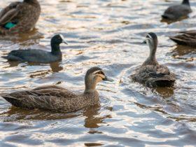 Toowoomba Waterbird Habitiat