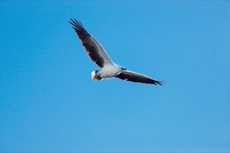 White-bellied sea-eagle in full flight.
