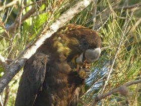Glossy Black-cockatoo (Calyptorhynchus lathami); UNESCO Noosa Biosphere Reserve