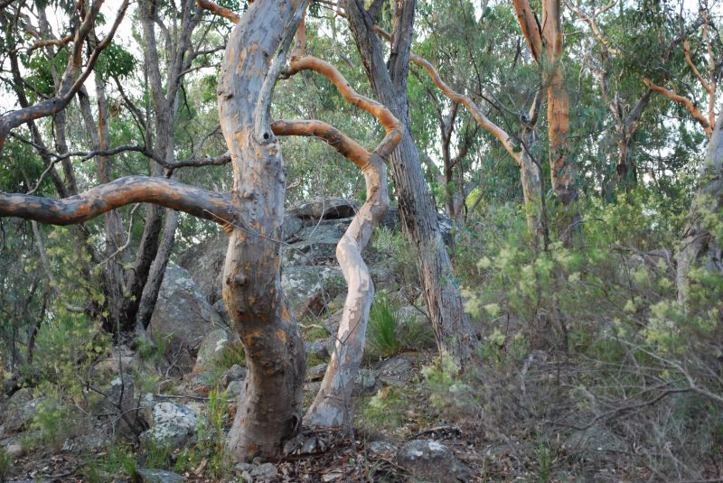 Twisted Gum Trees