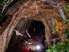 Bat emergence at Undara