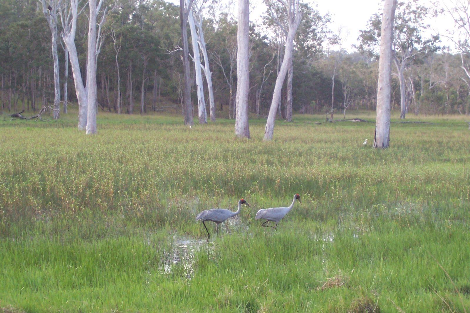 Saurus cranes in wetland, Wairuna