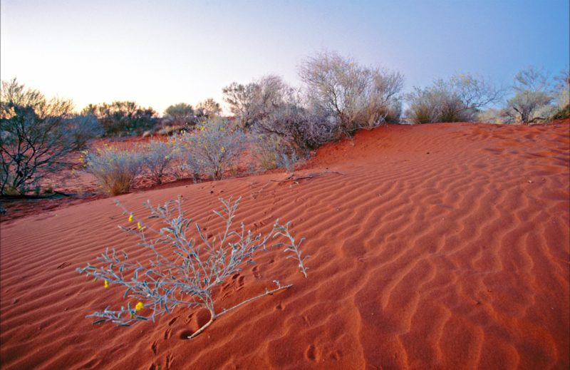 Red sand dune with grey vegetation and yellow flowers.