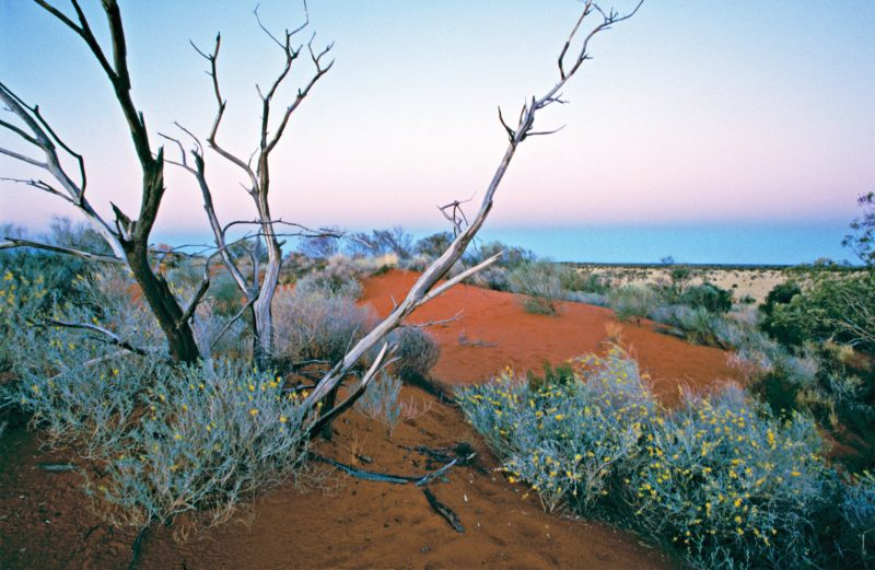 Red sand dunes, with grey vegetation and yellow flowers and dead tree. Golden grassland in backgroun