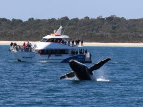 Whalesong Cruises Hervey Bay boat with humpback whale breaching in front