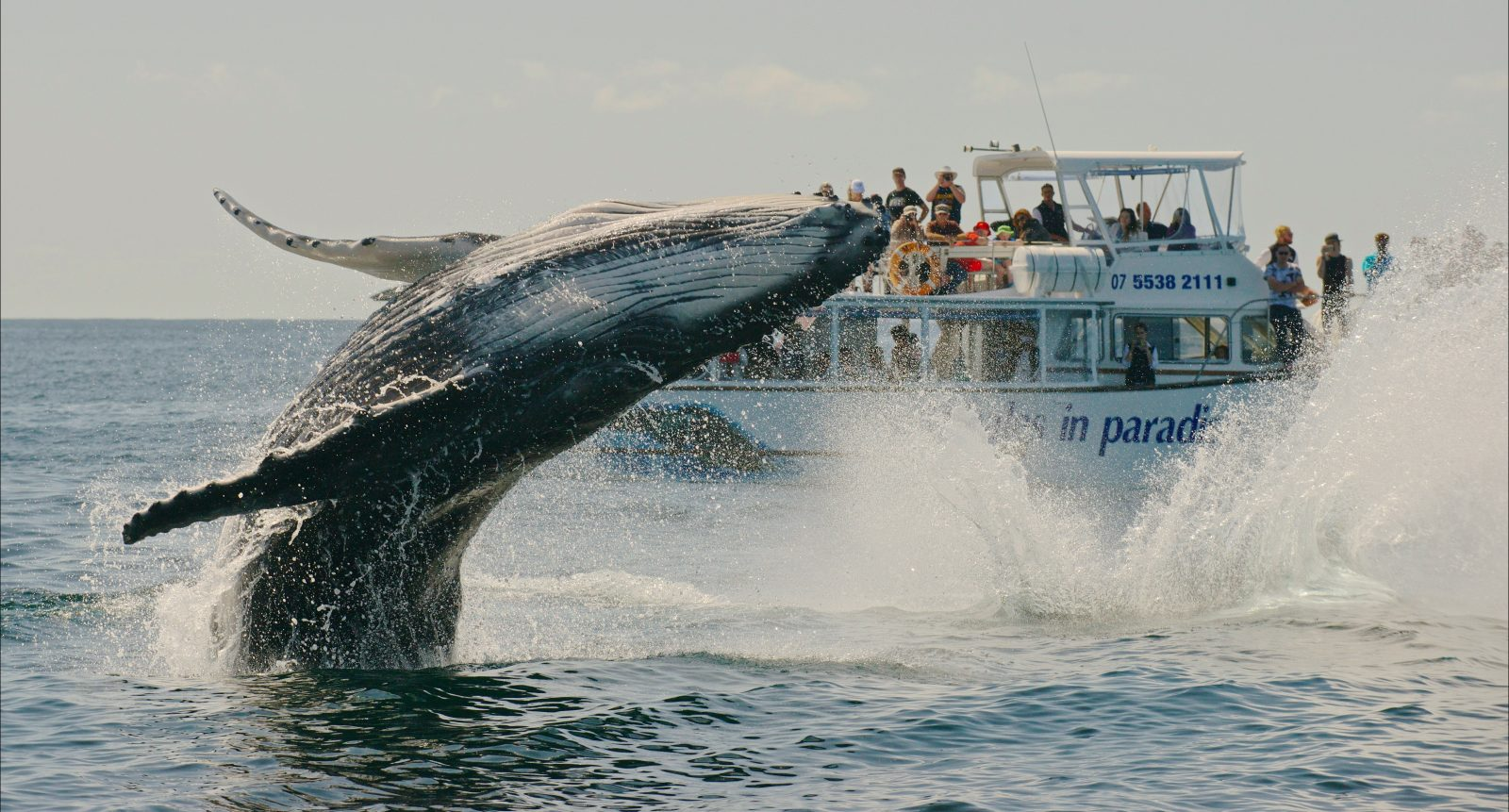 See humpback whales breach onboard Whales in Paradise tours