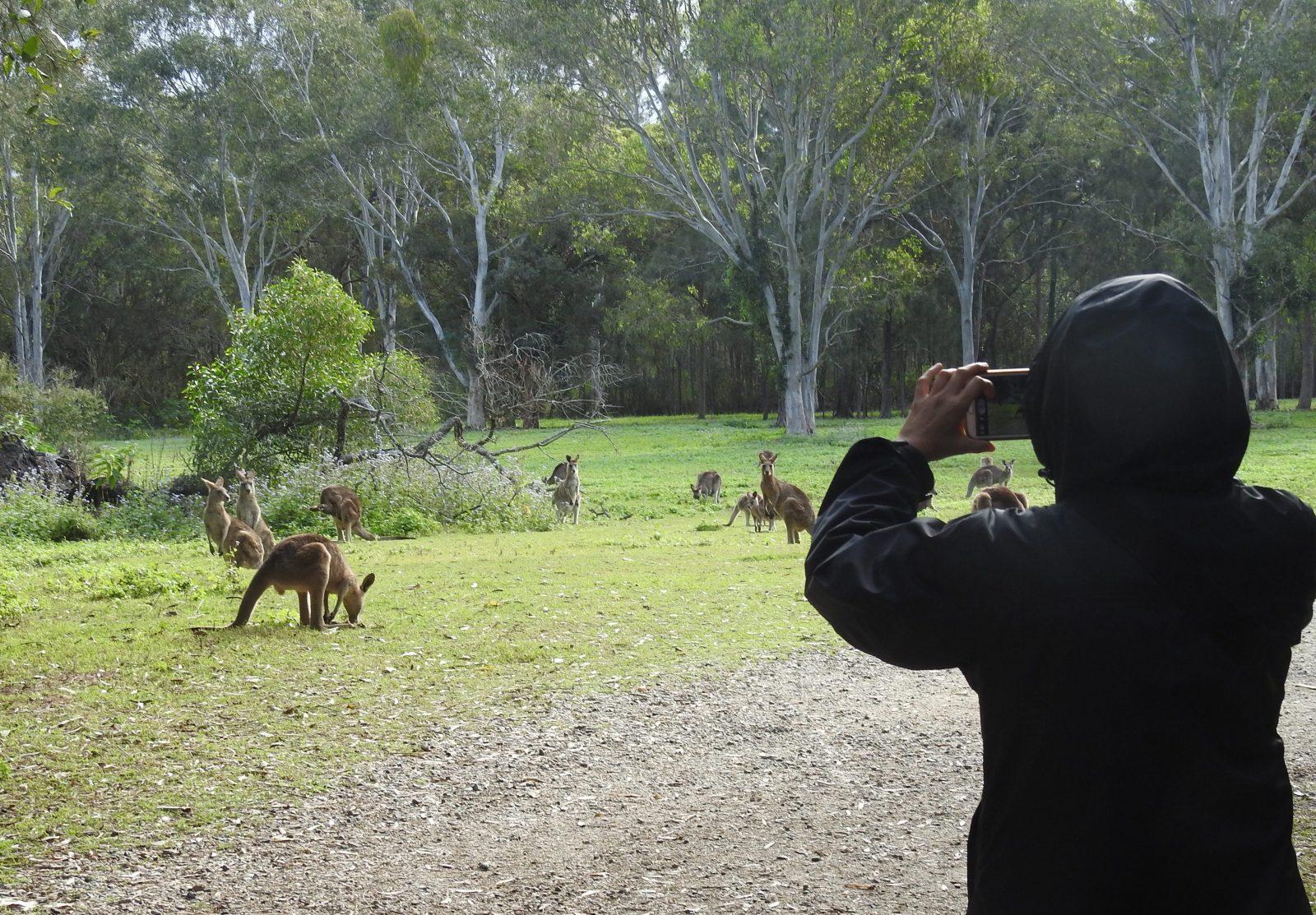 International visitor photographing wild kangaroos
