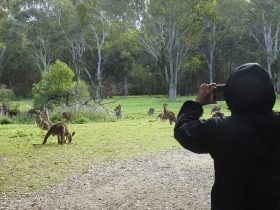 International visitor photographing wild kangaroos