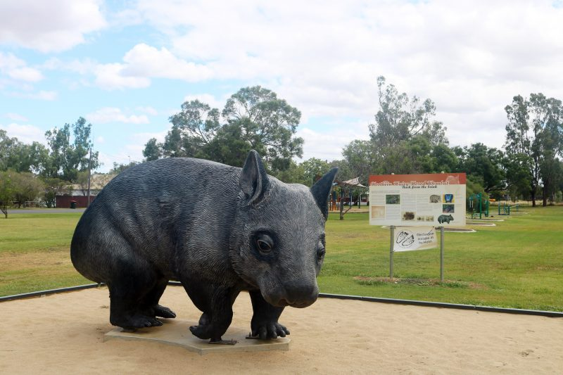 Northern Hairy-Nosed Wombat at Thallon