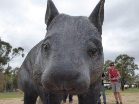 Thallon wombat