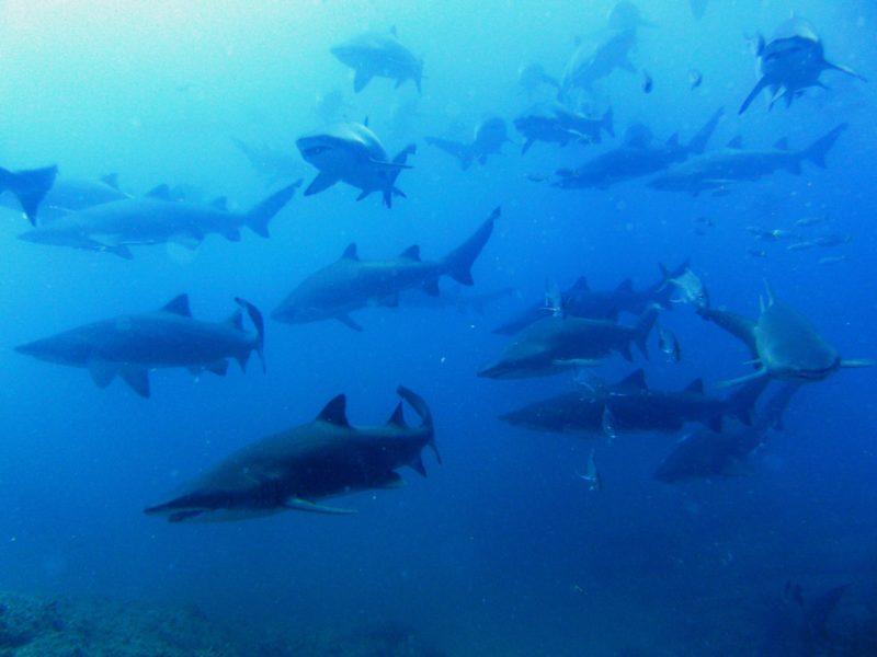 School of female grey nurse shark in gestation phase at Wolf Rock