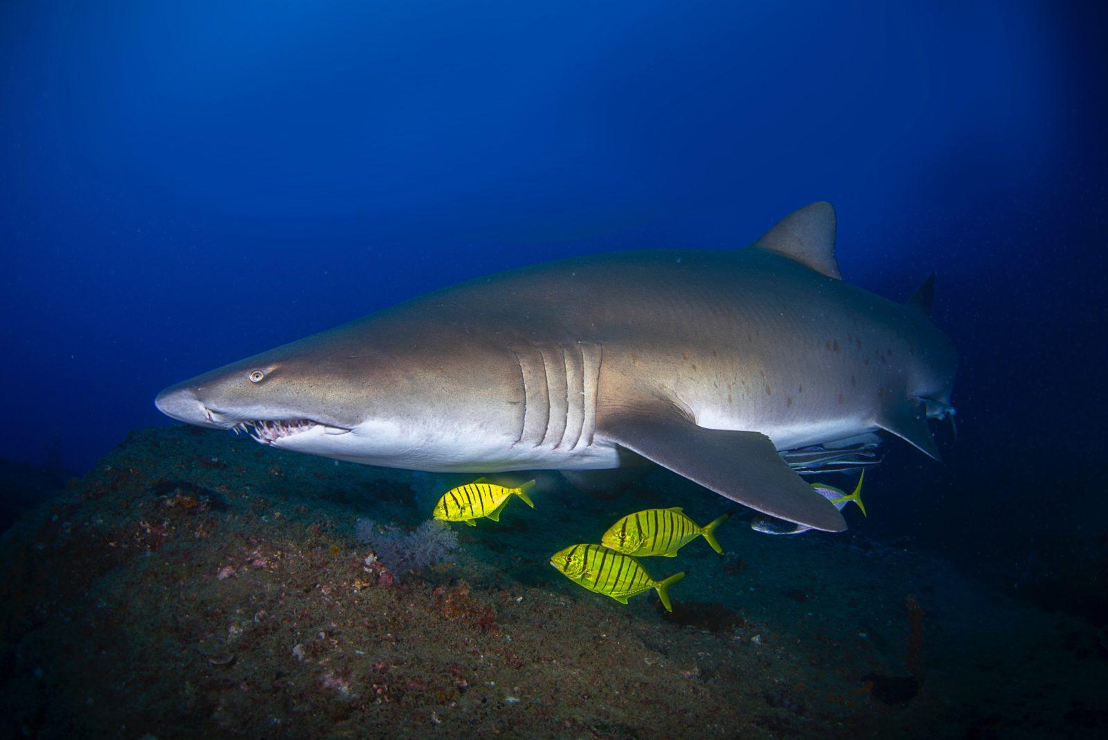 pregnant grey nurse shark at wolf rock