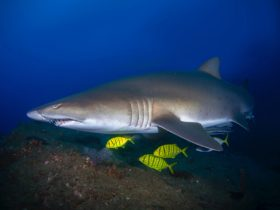 pregnant grey nurse shark at wolf rock