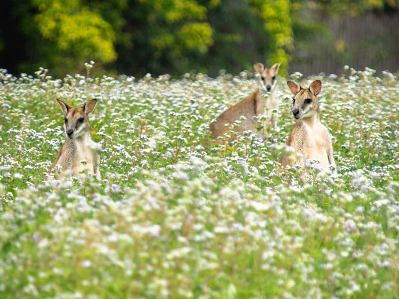 wild agile wallabies cairns wooroonooran safaris