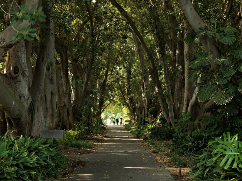 Adelaide Botanic Garden's iconic Murdoch Avenue features 160-year-old Moreton Bay Fig trees.