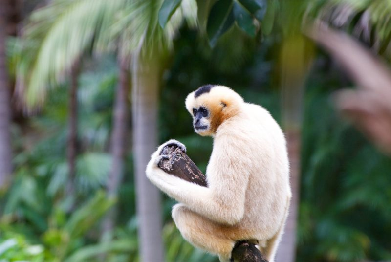 White Cheek Gibbons