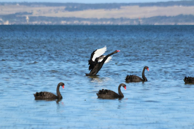 Australian Black Swans in sheltered waters of American River