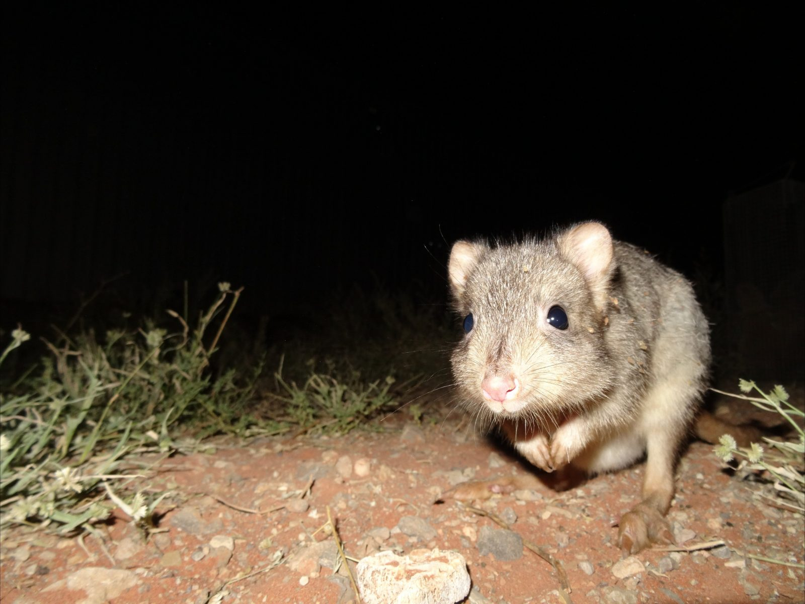 A burrowing bettong at the Arid Recovery Reserve
