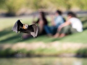 Grey-headed Flying-fox keeping cool by flying over the River Torrens