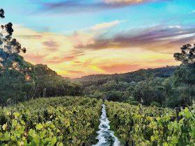 Vineyard after harvest