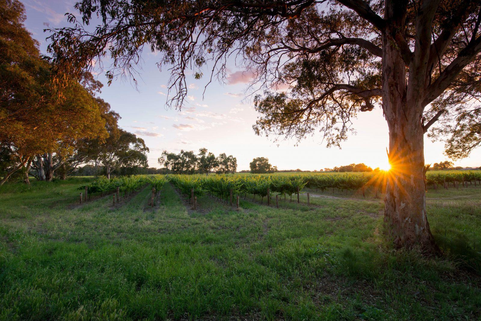Bleasdale Vineyards Estate - Sunset over the Riparian Vineyard