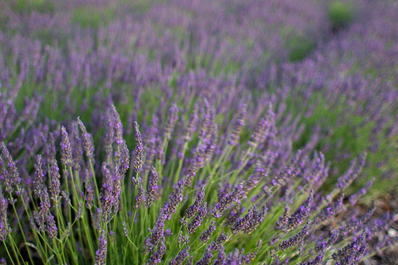 lavender in flower jan 2019